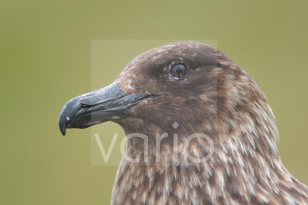 Great Skua (Stercorarius skua) adult, close-up of head, Shetland Islands, Scotland, june