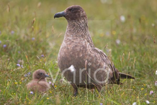 Great Skua (Stercorarius skua) adult with chick, Shetland Islands, Scotland, june