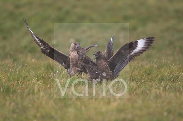 Great Skua (Stercorarius skua) three adults, fighting, Shetland Islands, Scotland, june