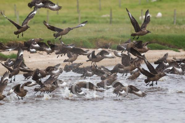 Great Skua (Stercorarius skua) adults, flock taking flight, after bathing in freshwater, Shetland Islands, Scotland, june