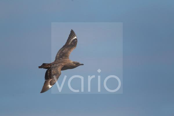Great Skua (Stercorarius skua) adult, in flight, Shetland Islands, Scotland, june