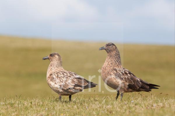 Great Skua (Stercorarius skua) adult pair, standing on grassy ridge, Shetland Islands, Scotland, june