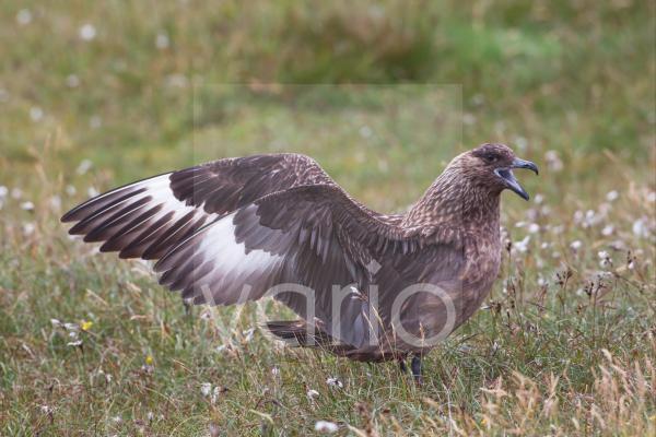Great Skua (Stercorarius skua) adult, calling and stretching wings, Shetland Islands, Scotland, june