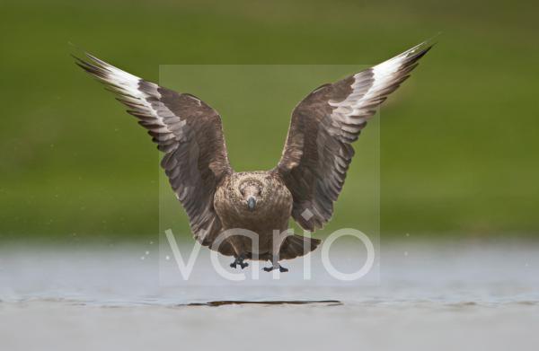 Great Skua (Stercorarius skua) adult, in flight, landing on water, Fetlar, Shetland Islands, Scotland, june
