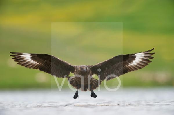 Great Skua (Stercorarius skua) adult, in flight over water, Fetlar, Shetland Islands, Scotland, june