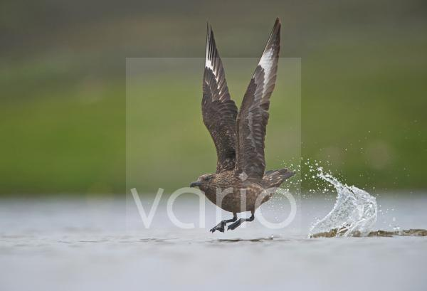 Great Skua (Stercorarius skua) adult, in flight, taking off from water, Fetlar, Shetland Islands, Scotland, june
