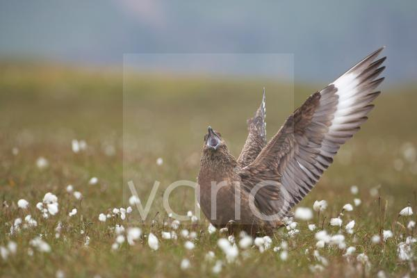 Great Skua (Stercorarius skua) adult, calling and displaying to see off rival, standing in cotton-grass on moorland breeding habitat, Shetland Islands, Scotland