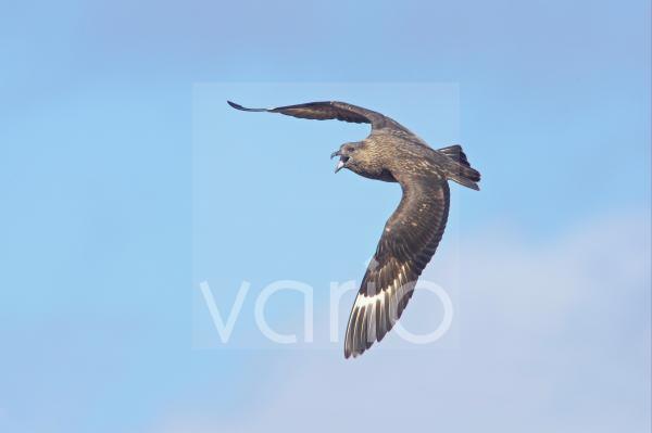 Great Skua (Stercorarius skua) adult, calling in flight, Hermaness N.N.R., Unst, Shetland Islands, Scotland