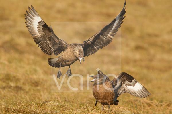 Great Skua (Stercorarius skua) adult pair, displaying as landing next to mate, Shetland Islands, Scotland, June