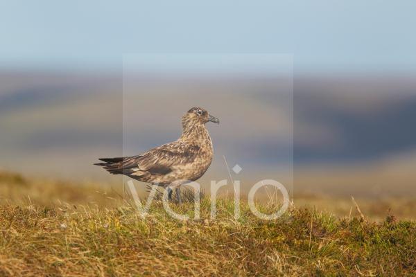 Great Skua (Stercorarius skua) adult, standing on moorland breeding ground, Shetland Islands, Scotland, June