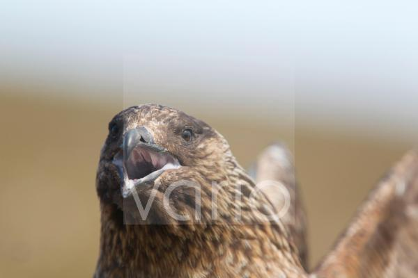 Great Skua (Stercorarius skua) adult, close-up of head, calling, Shetland Islands, Scotland, June