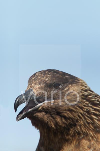 Great Skua (Stercorarius skua) adult, close-up of head, with beak open, Shetland Islands, Scotland, June