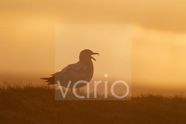 Great Skua (Stercorarius skua) adult, calling, silhouetted at sunset, Shetland Islands, Scotland, June