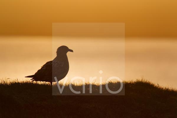 Great Skua (Stercorarius skua) adult, standing, silhouetted at sunset, Shetland Islands, Scotland, June