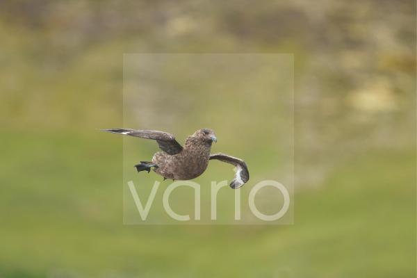 Great Skua (Stercorarius skua) adult, in flight, landing, Shetland Islands, Scotland, June