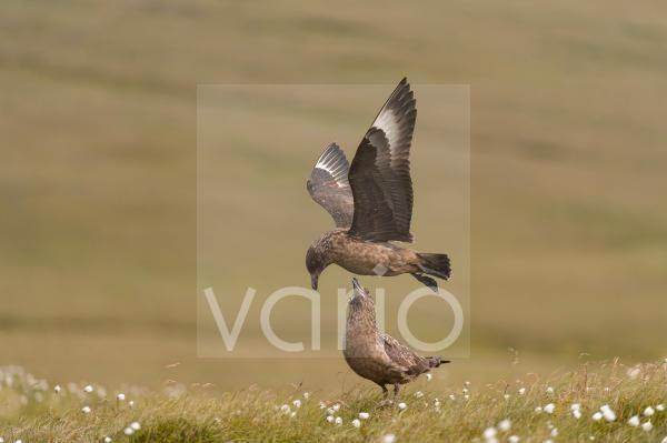 Great Skua (Stercorarius skua) adult pair, in flight and standing on coastal moorland, Unst, Shetland Islands, Scotland, July