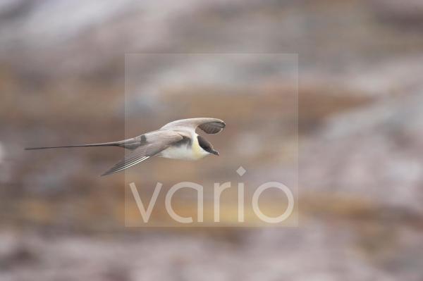 Long-tailed Skua (Stercorarius longicaudus) adult, in flight over tundra, Spitsbergen, Svalbard