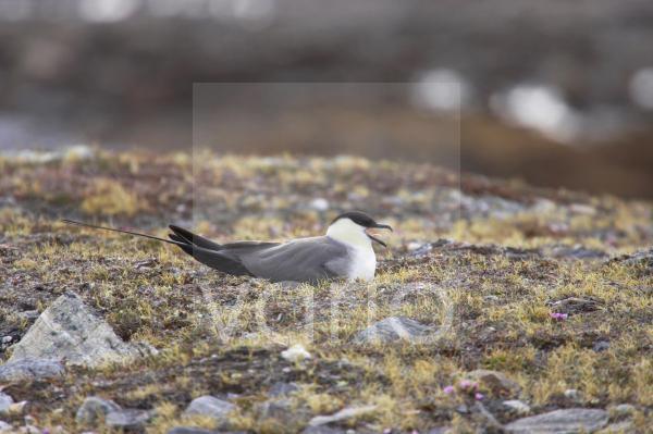 Long-tailed Skua (Stercorarius longicaudus) adult, sitting on nest in tundra, Spitsbergen, Svalbard
