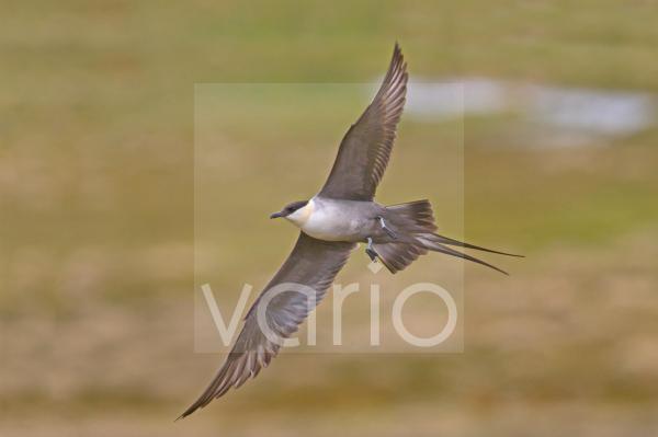 Long-tailed Skua (Stercorarius longicaudus) adult, breeding plumage, in flight, Northern Norway, july
