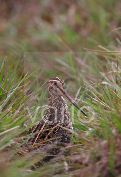 African Snipe (Gallinago nigripennis aequatorialis) adult, standing in upland bog, Kenya, november