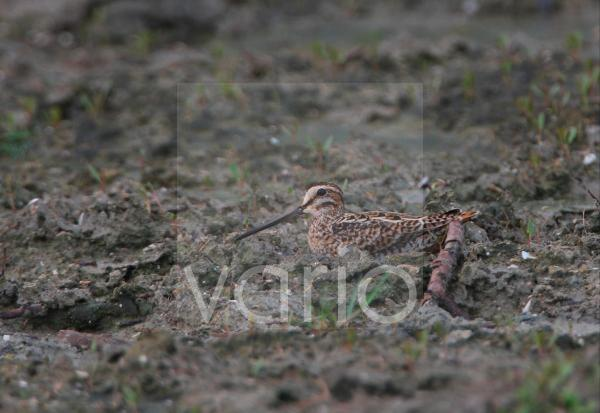 Pintail Snipe (Gallinago stenura) adult, sitting on muddy ground, Sri Lanka, december