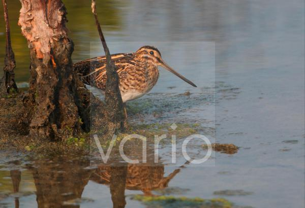 Pintail Snipe (Gallinago stenura) adult, standing beside dead tree in water, Thailand, february