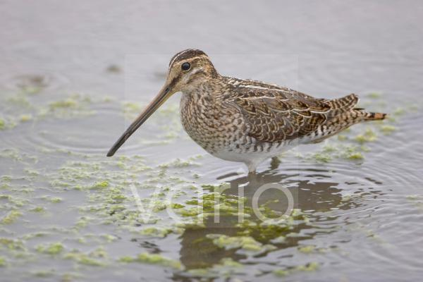 Common Snipe (Gallinago gallinago) adult, wading in water, Titchwell RSPB Reserve, Norfolk, England