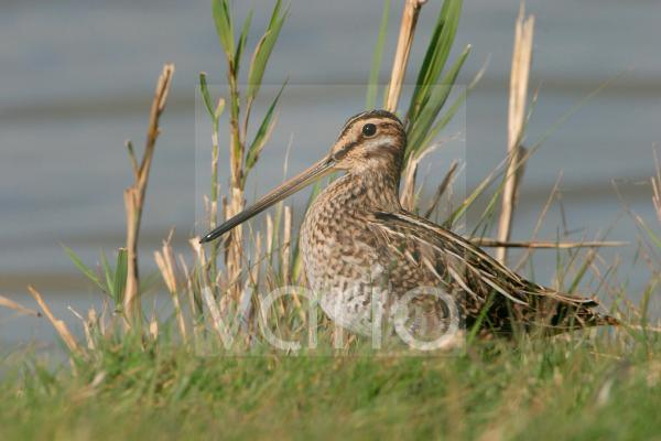 Common Snipe (Gallinago gallinago) adult, standing at edge of water, Norfolk, England, october