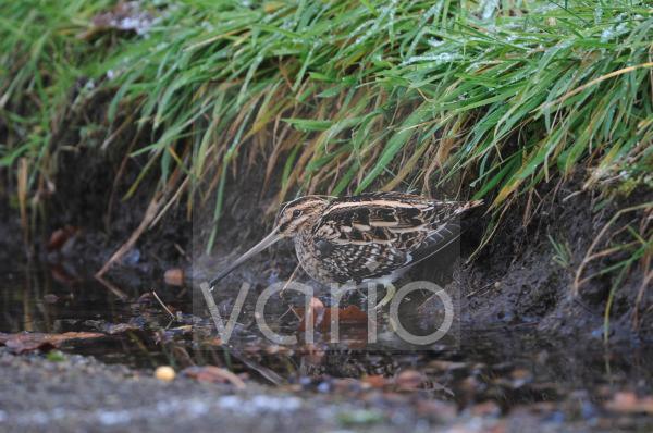 Common Snipe (Gallinago gallinago) adult, feeding in roadside puddle, Norfolk, England, january