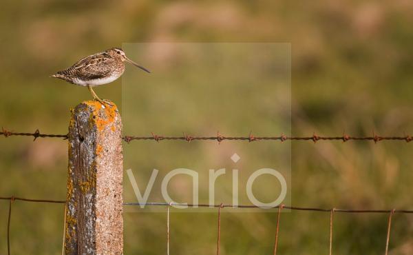 Common Snipe (Gallinago gallinago) adult, standing on lichen covered fencepost, North Uist, Outer Hebrides, Scotland