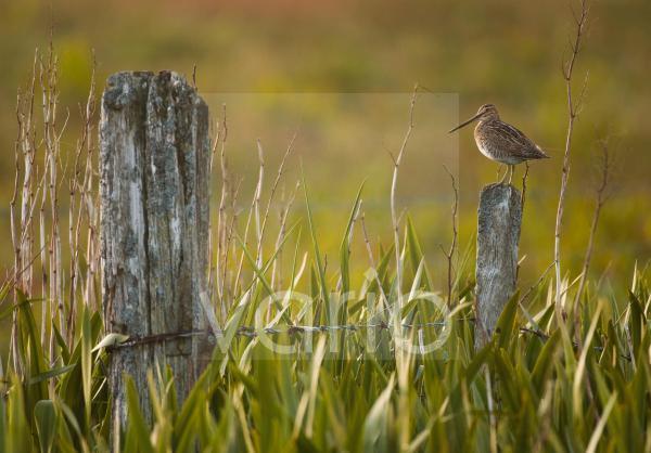 Common Snipe (Gallinago gallinago) adult, standing on fencepost in marshy area of yellow iris, Shetland Islands, Scotland