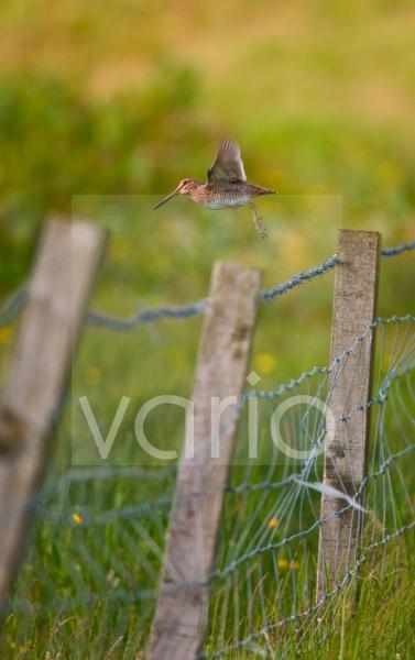 Common Snipe (Gallinago gallinago) adult, in flight, taking off from fencepost, Shetland Islands, Scotland
