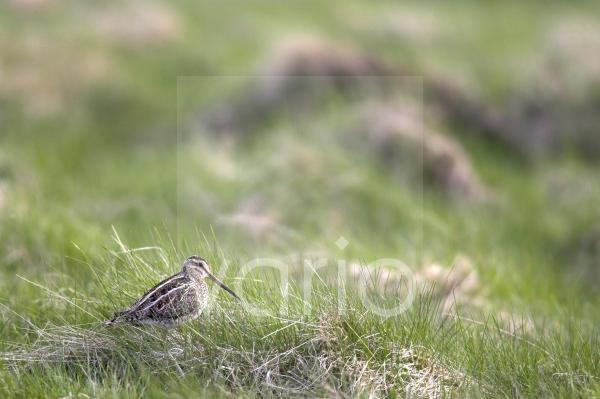 Common Snipe (Gallinago gallinago) adult, standing amongst grass in upland habitat, Lammermuir Hills, Borders, Scotland, summer