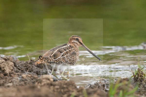Common Snipe (Gallinago gallinago) adult, foraging at edge of water, England