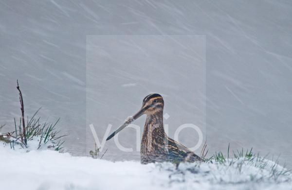 Common Snipe (Gallinago gallinago) adult, standing in snow during blizzard, Cley, Norfolk, England, november