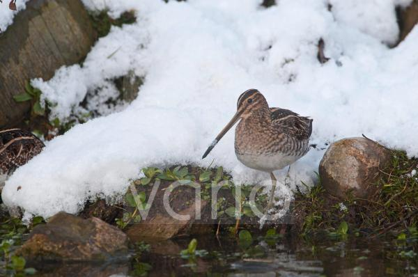 Common Snipe (Gallinago gallinago) adult, foraging on snow covered bank of pond, Salthouse, Norfolk, England, december