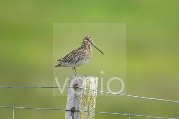 Common Snipe (Gallinago gallinago) adult, standing on fencepost, Mainland, Shetland Islands, Scotland