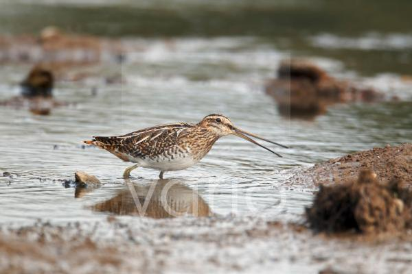 Common Snipe (Gallinago gallinago) adult, with beak open, feeding in shallow water, Warwickshire, England, october