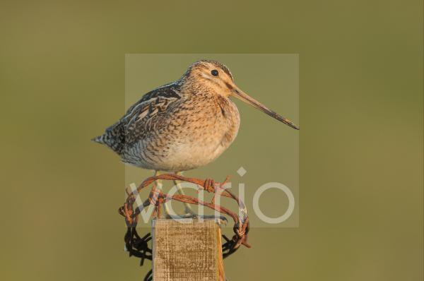 Common Snipe (Gallinago gallinago) adult, standing on fencepost with rusty barbed wire, Iceland, June