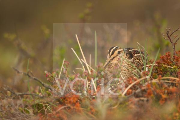 Common Snipe (Gallinago gallinago) adult, amongst vegetation on moorland, Iceland, June