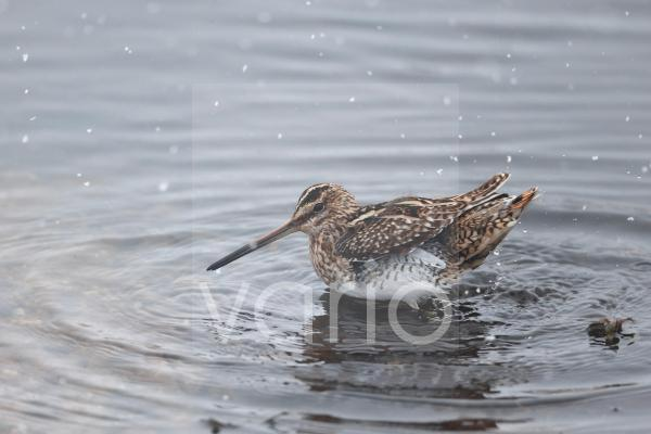 Common Snipe (Gallinago gallinago) adult, bathing in shallow water during snowfall, Warwickshire, England, March