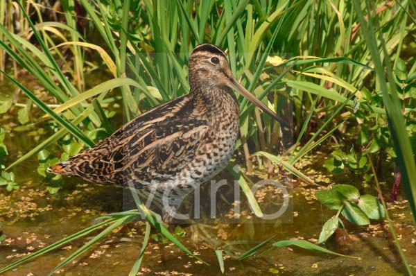 Great Snipe (Gallinago media) adult, standing in shallow water, during migration, Lesvos, Greece, april