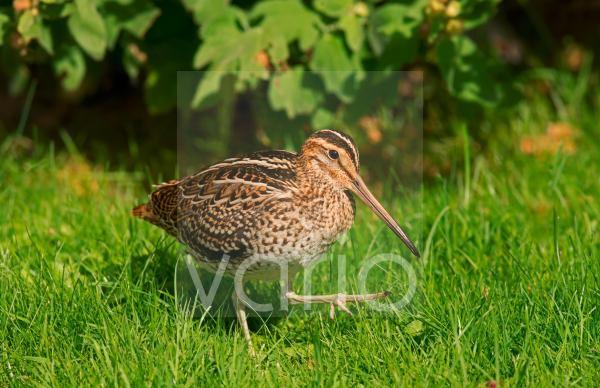 Great Snipe (Gallinago media) adult, vagrant, walking on grass, Spurn, East Yorkshire, England, September