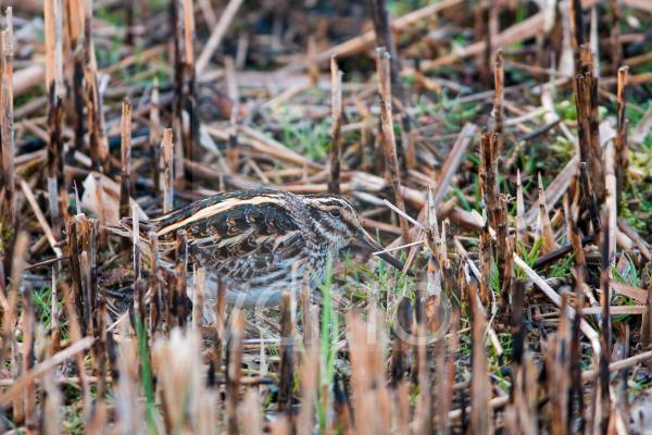 Jack Snipe (Lymnocryptes minimus) adult, standing in cut reedbed, Minsmere RSPB Reserve, Suffolk, England, march