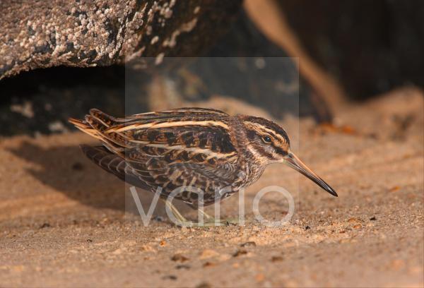 Jack Snipe (Lymnocryptes minimus) adult, freshly arrived migrant resting on beach, Norfolk, England, october