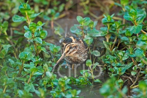 Jack Snipe (Lymnocryptes minimus) adult, standing in water amongst vegetation, Cley, Norfolk, England, november