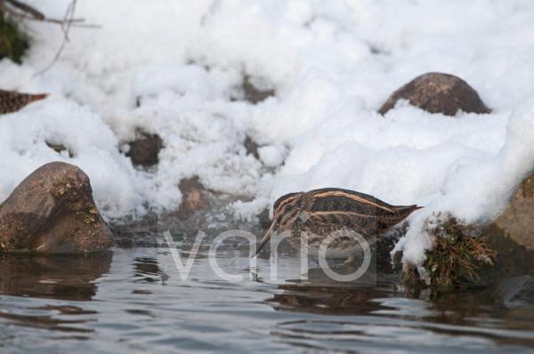 Jack Snipe (Lymnocryptes minimus) adult, feeding, standing on snow covered bank of pond, Salthouse, Norfolk, England, december