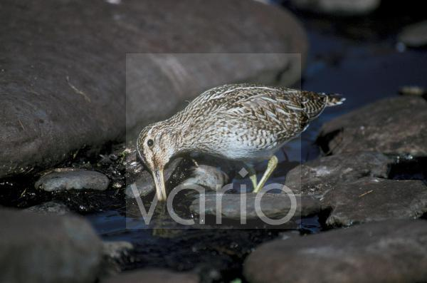 Magellanic Snipe (Gallinago paraguaiae) Standing in shallow water / feeding
