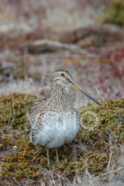 Magellan Snipe (Gallinago g. paraguaiae) Falklands