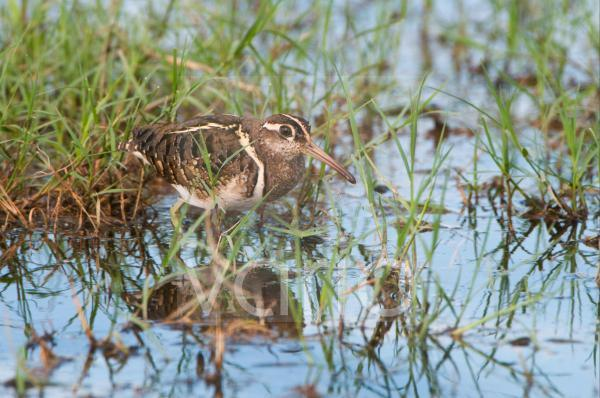 Greater Painted-snipe (Rostratula benghalensis) adult male, wading in water, Kwando, Linyanti, Botswana, summer